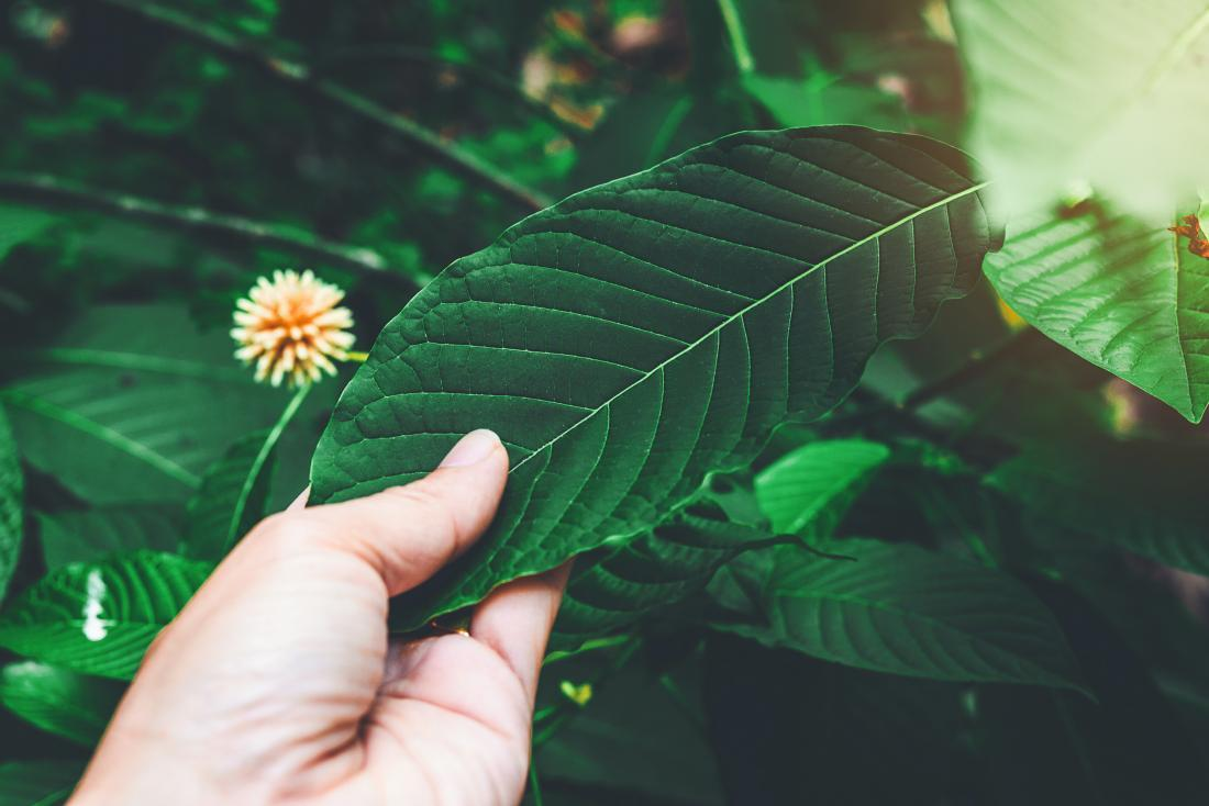 One Of The Most Ignored Truth Concerning Kratom Essence Disclosed
